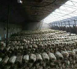 香菇种植大棚